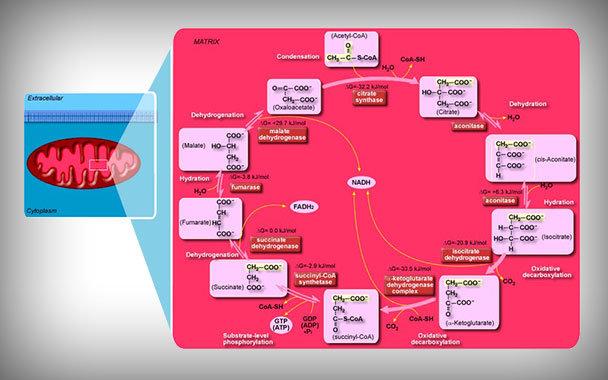 Recambio metabólico